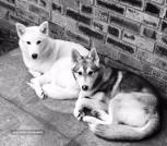 2 Female Siberian Huskies - Sisters